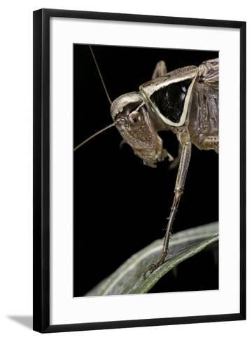 Metrioptera Roeselii (Roesel's Bush-Cricket) - Portrait-Paul Starosta-Framed Art Print