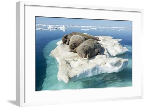 Walruses on Iceberg, Hudson Bay, Nunavut, Canada-Paul Souders-Framed Art Print
