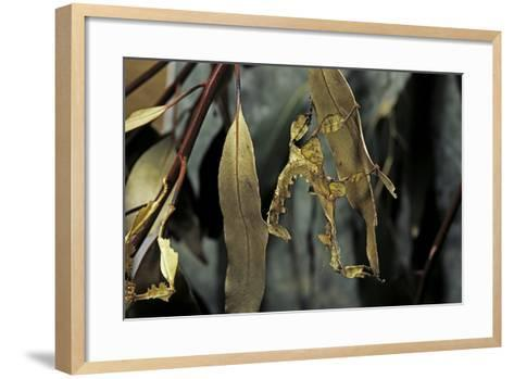 Extatosoma Tiaratum (Giant Prickly Stick Insect) - Larva-Paul Starosta-Framed Art Print