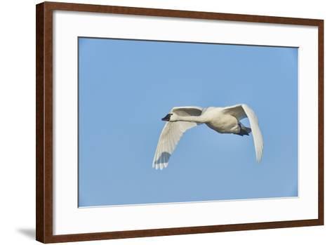 Tundra Swan-Gary Carter-Framed Art Print