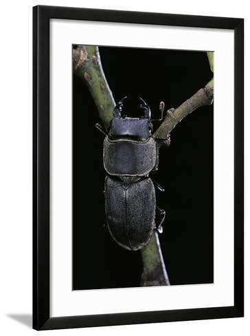 Dorcus Parallelipipedus (Small Stag Beetle)-Paul Starosta-Framed Art Print