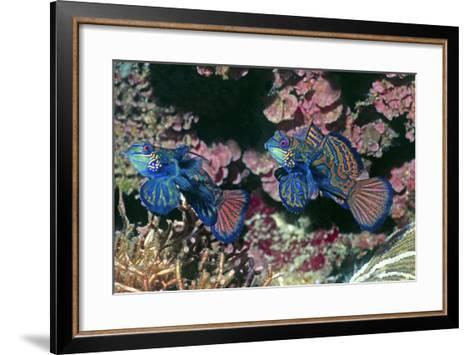 Mandarinfish Male and Female-Hal Beral-Framed Art Print