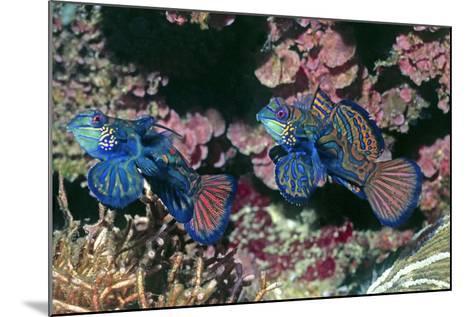 Mandarinfish Male and Female-Hal Beral-Mounted Photographic Print