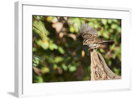 White-Throated Sparrow-Gary Carter-Framed Art Print