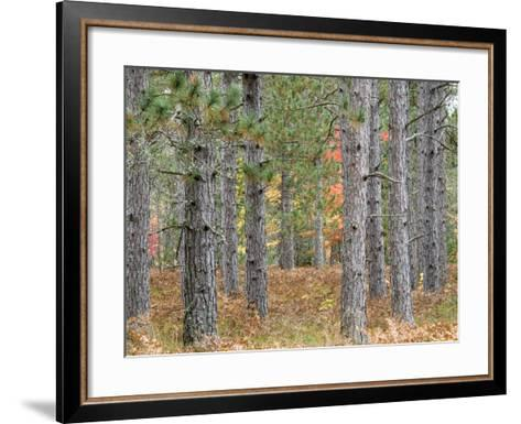 Fall Foliage and Pine Trees in the Forest.-Julianne Eggers-Framed Art Print