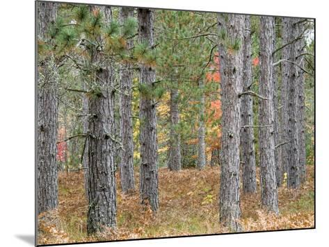 Fall Foliage and Pine Trees in the Forest.-Julianne Eggers-Mounted Photographic Print