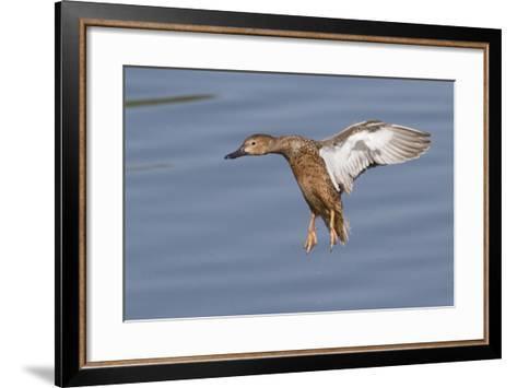 Cinnamon Teal Hen Landing-Hal Beral-Framed Art Print