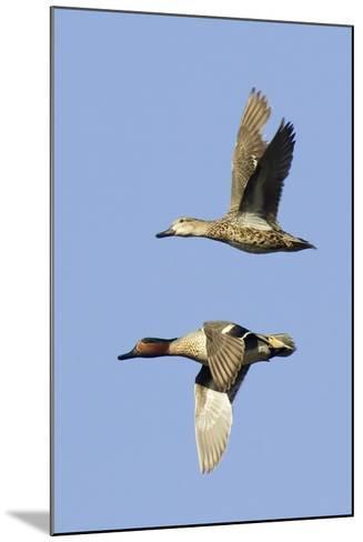 Pair of Green-Winged Teals Flying-Hal Beral-Mounted Photographic Print