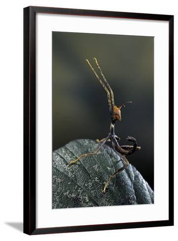 Extatosoma Tiaratum (Giant Prickly Stick Insect) - Very Young Larva-Paul Starosta-Framed Art Print