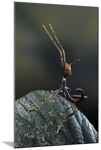 Extatosoma Tiaratum (Giant Prickly Stick Insect) - Very Young Larva-Paul Starosta-Mounted Photographic Print