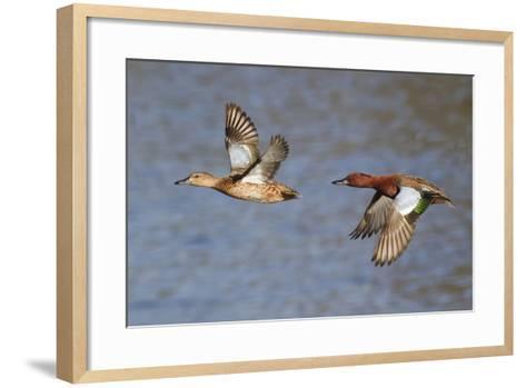 Cinnamon Teal Drake and Hen Flying-Hal Beral-Framed Art Print