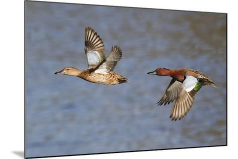 Cinnamon Teal Drake and Hen Flying-Hal Beral-Mounted Photographic Print