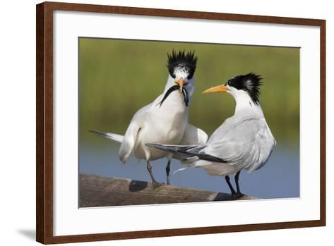 Elegant Tern Offers Fish to Potential Mate-Hal Beral-Framed Art Print
