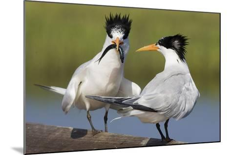 Elegant Tern Offers Fish to Potential Mate-Hal Beral-Mounted Photographic Print