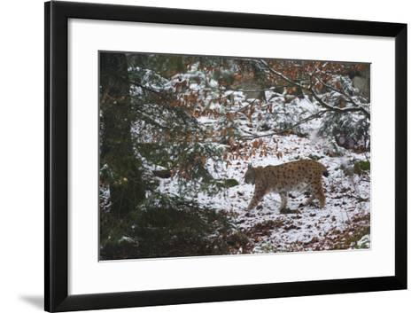 European Lynx (Lynx Linx), Bavarian Forest National Park.-Sergio Pitamitz-Framed Art Print