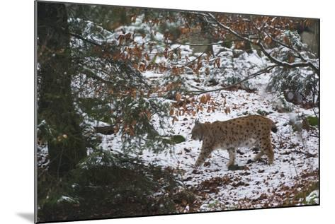 European Lynx (Lynx Linx), Bavarian Forest National Park.-Sergio Pitamitz-Mounted Photographic Print
