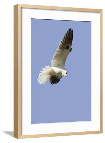 White-Tailed Kite Hunting-Hal Beral-Framed Art Print