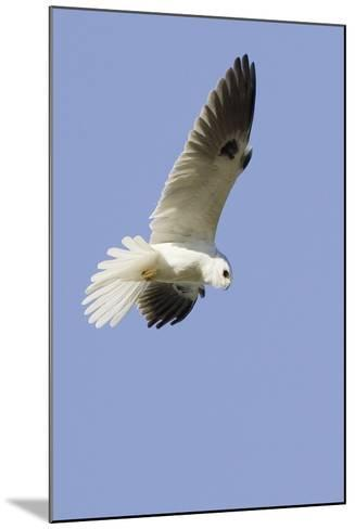 White-Tailed Kite Hunting-Hal Beral-Mounted Photographic Print