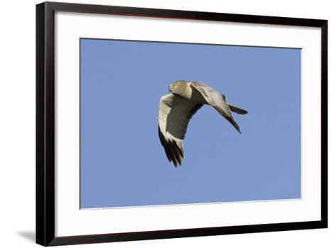 Male Northern Harrier in Flight-Hal Beral-Framed Art Print