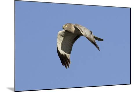 Male Northern Harrier in Flight-Hal Beral-Mounted Photographic Print