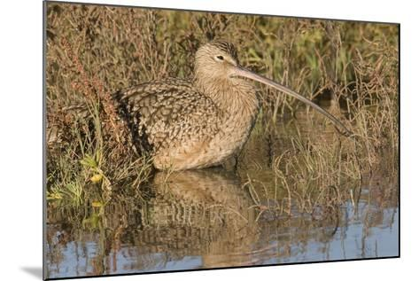 Long-Billed Curlew-Hal Beral-Mounted Photographic Print