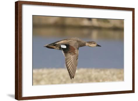 Gadwall Drake in Flight-Hal Beral-Framed Art Print