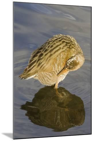 Light-Footed Clapper Rail Grooming-Hal Beral-Mounted Photographic Print