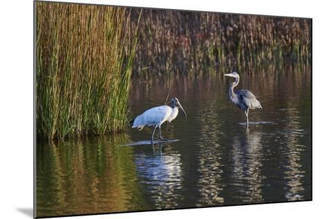 Wood Stork-Gary Carter-Mounted Photographic Print