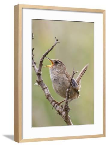 Marsh Wren Calling-Hal Beral-Framed Art Print