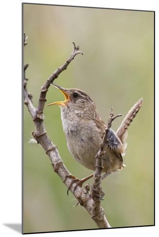 Marsh Wren Calling-Hal Beral-Mounted Photographic Print