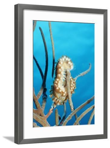 Bearded Fireworm, Hermodice Carunculata, Netherlands Antilles, Bonaire, Caribbean Sea-Reinhard Dirscherl-Framed Art Print