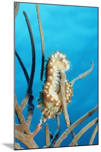 Bearded Fireworm, Hermodice Carunculata, Netherlands Antilles, Bonaire, Caribbean Sea-Reinhard Dirscherl-Mounted Photographic Print