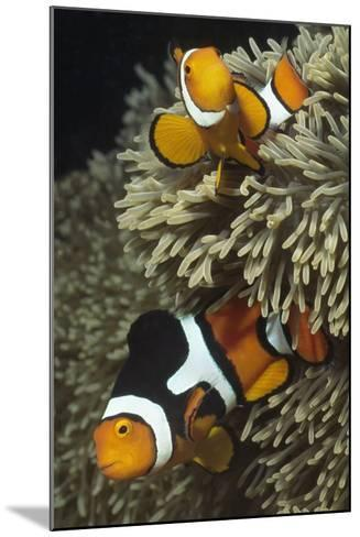 Pair of Clown Anemonefish in Sea Anemone-Hal Beral-Mounted Photographic Print
