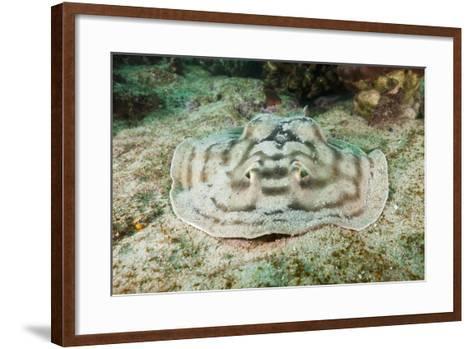 Reticulated round Ray (Urobatis Concentricus)-Reinhard Dirscherl-Framed Art Print