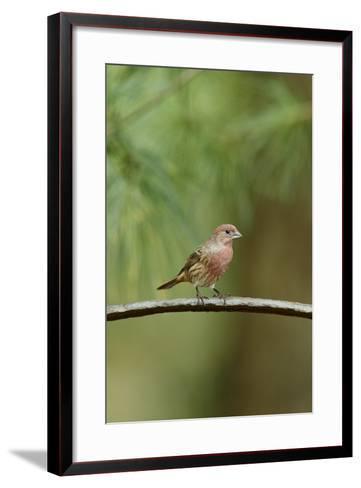 House Finch-Gary Carter-Framed Art Print