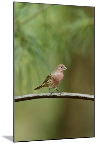 House Finch-Gary Carter-Mounted Photographic Print