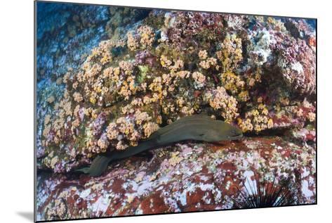 Panamic Green Moray Eel (Gymnothorax Castaneus)-Reinhard Dirscherl-Mounted Photographic Print