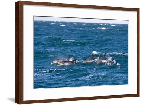 Common Dolphin Pod (Delphinus Capensis)-Reinhard Dirscherl-Framed Art Print