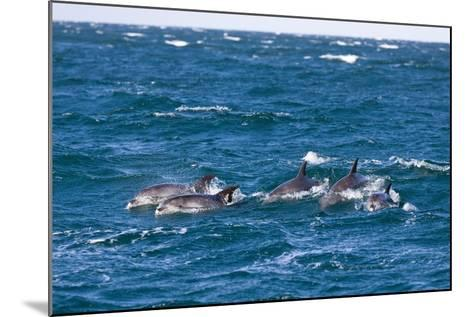 Common Dolphin Pod (Delphinus Capensis)-Reinhard Dirscherl-Mounted Photographic Print