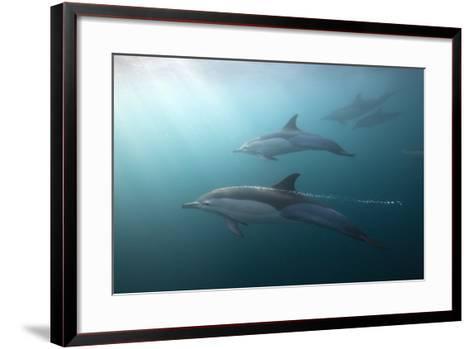 Long-Beaked Dolphin (Delphinus Capensis)-Reinhard Dirscherl-Framed Art Print