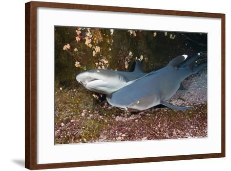 Whitetip Reef Shark (Triaenodon Obesus)-Reinhard Dirscherl-Framed Art Print