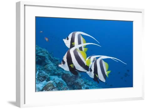 Pennant Bannerfish (Heniochus Diphreutes)-Reinhard Dirscherl-Framed Art Print