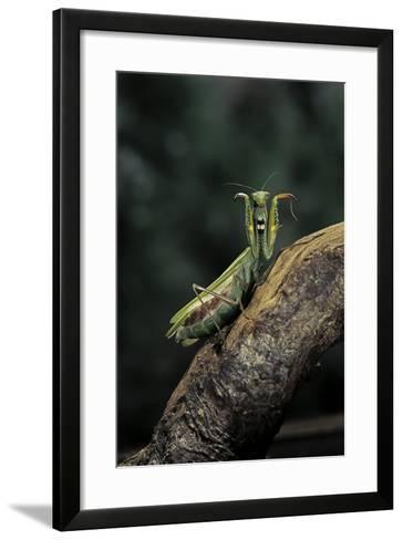 Mantis Religiosa (Praying Mantis) - in Defensive Posture, Threat Display-Paul Starosta-Framed Art Print