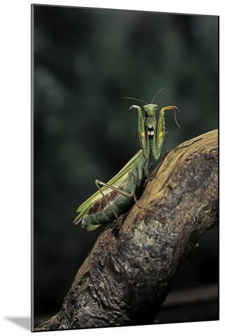 Mantis Religiosa (Praying Mantis) - in Defensive Posture, Threat Display-Paul Starosta-Mounted Photographic Print