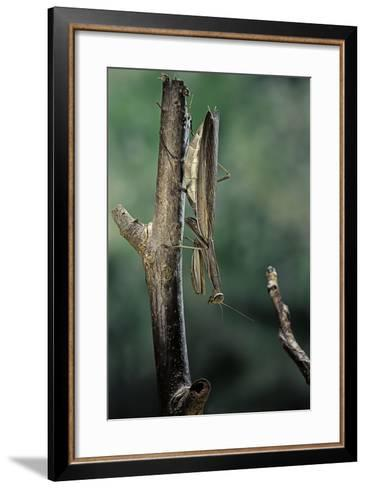 Mantis Religiosa (Praying Mantis) - Female Ready to Lay-Paul Starosta-Framed Art Print
