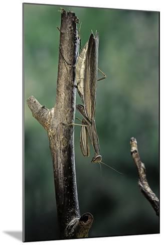 Mantis Religiosa (Praying Mantis) - Female Ready to Lay-Paul Starosta-Mounted Photographic Print