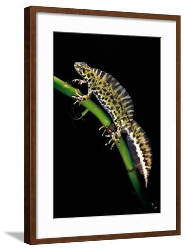 Triturus Marmoratus (Marbled Newt)-Paul Starosta-Framed Art Print