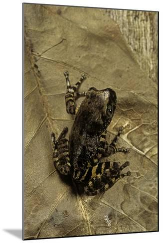 Phlyctimantis Boulengeri-Paul Starosta-Mounted Photographic Print