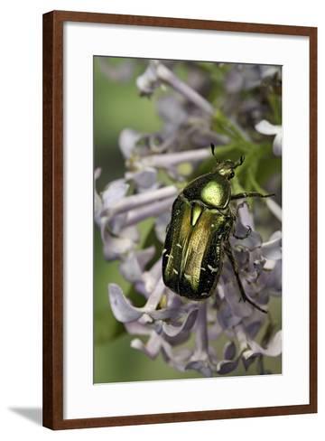 Cetonia Aurata (Rose Chafer)-Paul Starosta-Framed Art Print