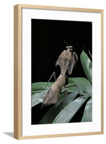 Deroplatys Desiccata (Giant Dead Leaf Mantis)-Paul Starosta-Framed Art Print